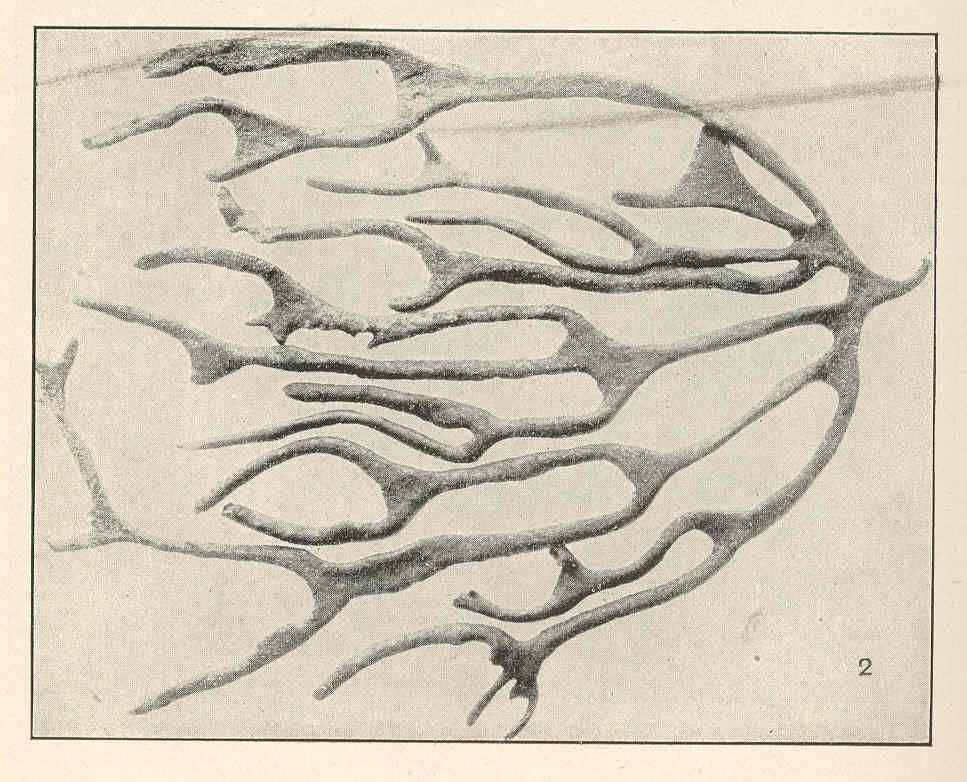 Image of <i>Codium decorticatum</i>