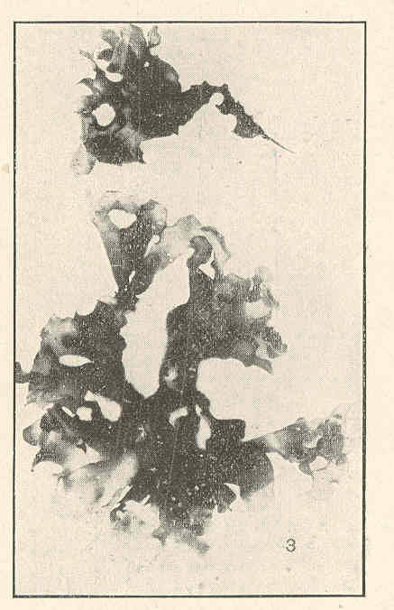 Image of <i>Cryptonemia crenulata</i> (J. Agardh) J. Agardh 1851