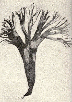 Image of <i>Cutleria multifida</i>