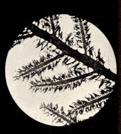 Image of <i>Rhodoptilum plumosum</i>