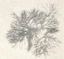 Image of <i>Caloglossa leprieurii</i>