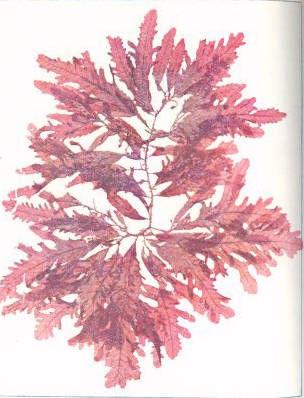 Image of <i>Phycodrys rubens</i>
