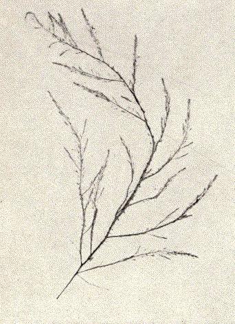 Image of <i>Desmarestia aculeata</i>