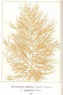 Image of <i>Desmarestia ligulata</i>