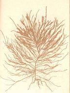 Image of <i>Eudesme virescens</i>