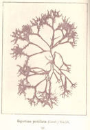 Image of <i>Gigartina pistillata</i>