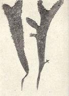 Image of <i>Gigartina radula</i>