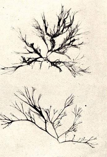 Image of <i>Gracilaria multipartita</i>