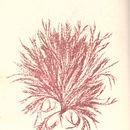Image of <i>Halurus flosculosus</i>