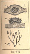 Image of Gymnogongrus