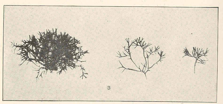 Image of <i>Gymnogongrus griffithsiae</i>