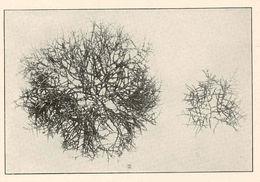 Image of <i>Laurencia tuberculosa</i> J. Agardh