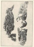 Image of <i>Halymenia duchassaingii</i> (J. Agardh) Kylin 1932