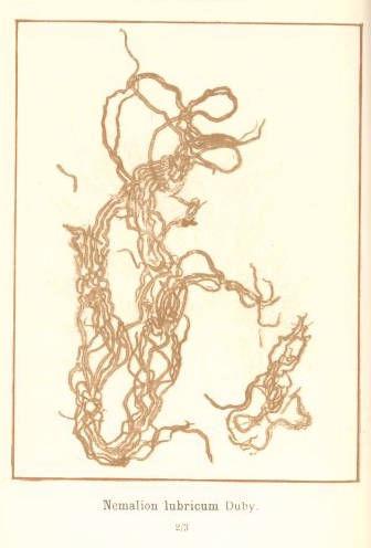 Image of <i>Nemalion lubricum</i>