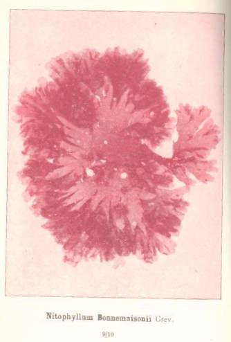 Image of <i>Haraldiophyllum bonnemaisonii</i>