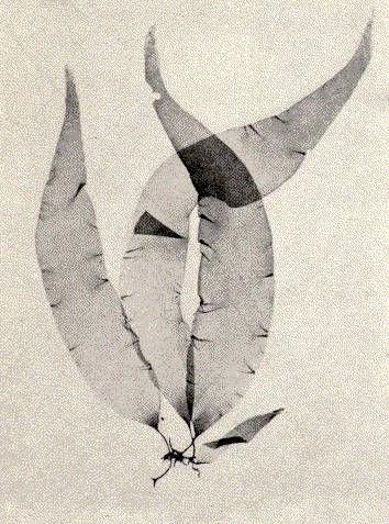 Image of <i>Petalonia fascia</i>