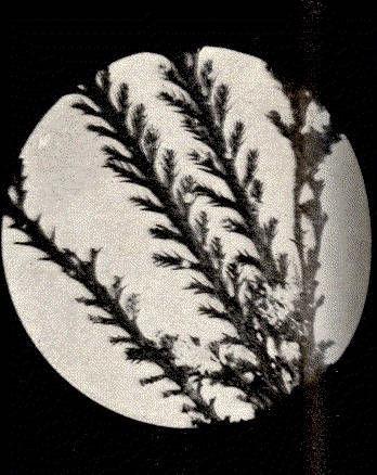 Image of <i>Pterosiphonia dendroidea</i> (Montagne) Falkenberg 1901