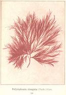 Image of <i>Polysiphonia elongata</i>