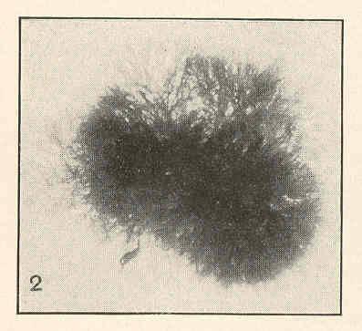 Image of <i>Polysiphonia nigrescens</i> (Dillwyn) Grev.
