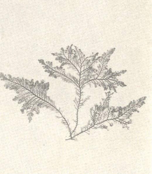 Image of <i>Pterosiphonia parasitica</i> (Hudson) Falkenberg 1901