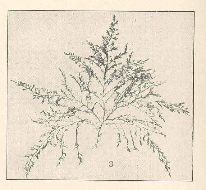 Image of <i>Polysiphonia denudata</i>