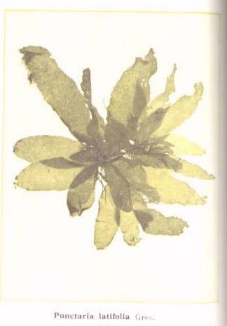 Image of <i>Punctaria latifolia</i>