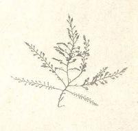 Image of <i>Odonthalia floccosa</i>