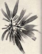 Image of <i>Rhodymenia pseudopalmata</i>