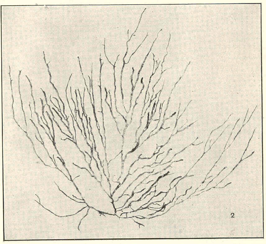 Image of <i>Rosenvingea orientalis</i>