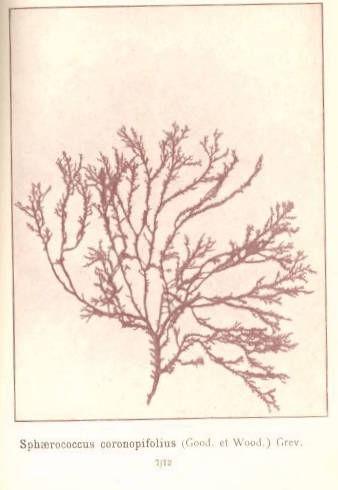Image of <i>Sphaerococcus coronopifolius</i>