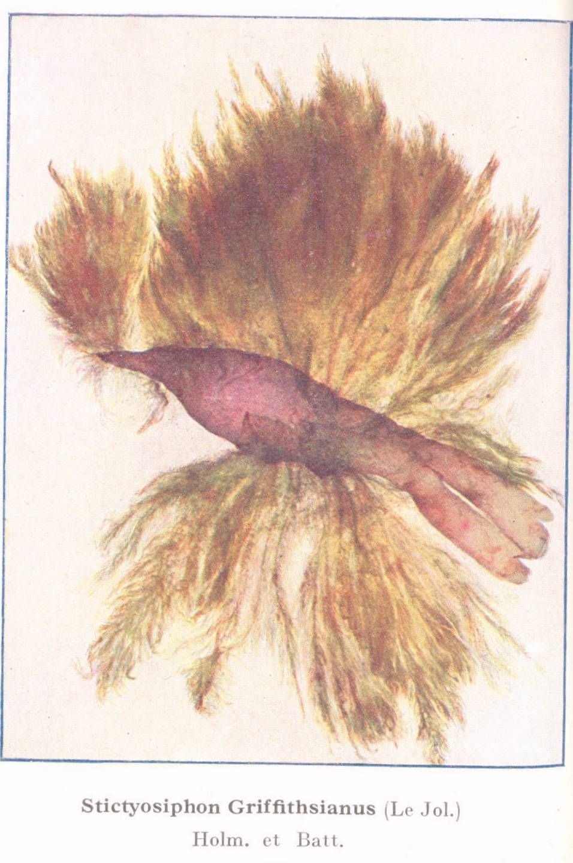 Image of <i>Stictyosiphon griffithsianus</i> (Le Jolis) Holmes & Batters 1891