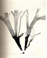 Image of <i>Taonia atomaria</i>