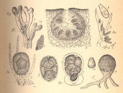 Image of Tilopteris
