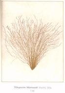 Image of <i>Tilopteris mertensii</i>