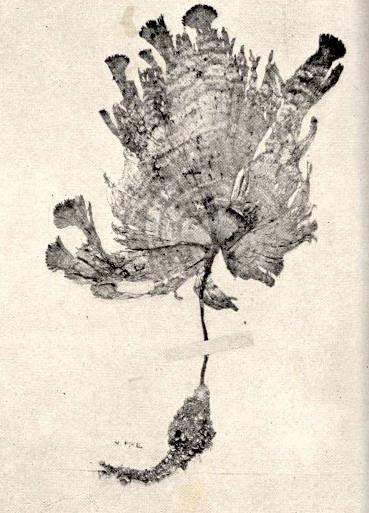 Image of <i>Udotea conglutinata</i>
