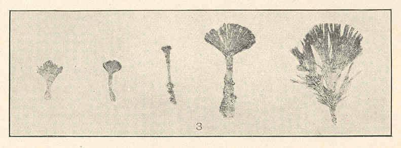 Image of <i>Udotea cyathiformis</i>