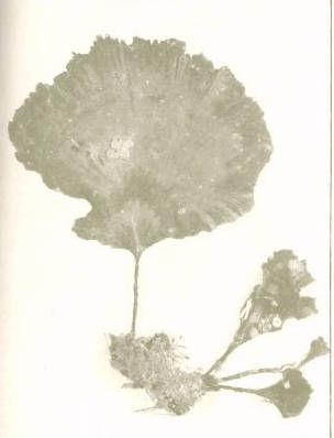 Image of <i>Udotea petiolata</i>
