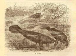 Image of manatee