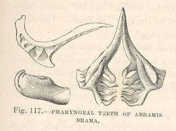 Image of Brachsen