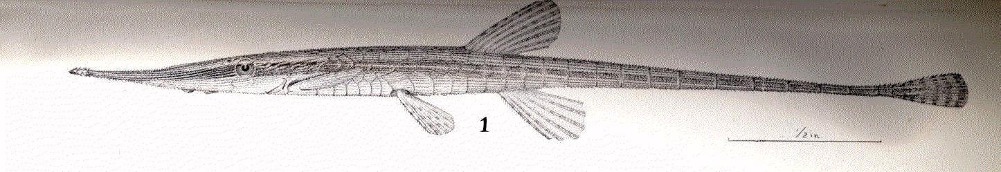 Image of <i>Acestridium discus</i> Haseman 1911