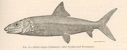 Image of Bonefish