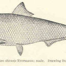 Image of <i>Alosa alabamae</i> Jordan & Evermann 1896
