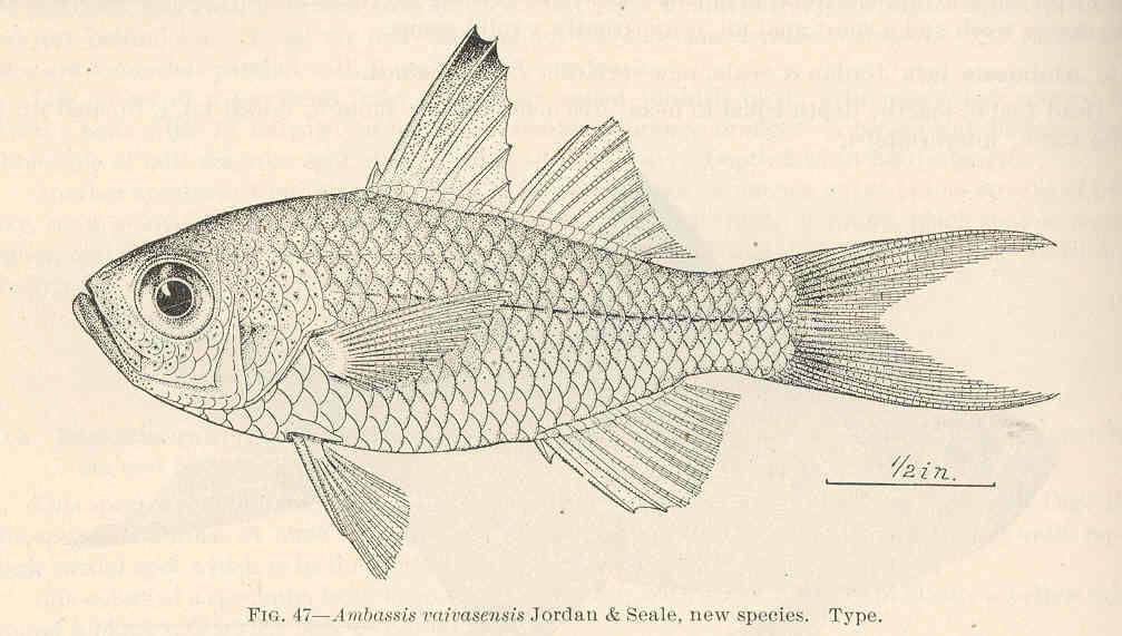 Image of <i>Ambassis vaivasensis</i> Jordan & Seale 1906