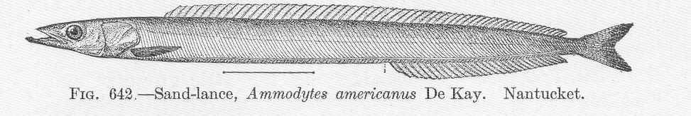 Image of American sand lance