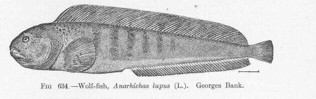 Image of Atlantic wolffish
