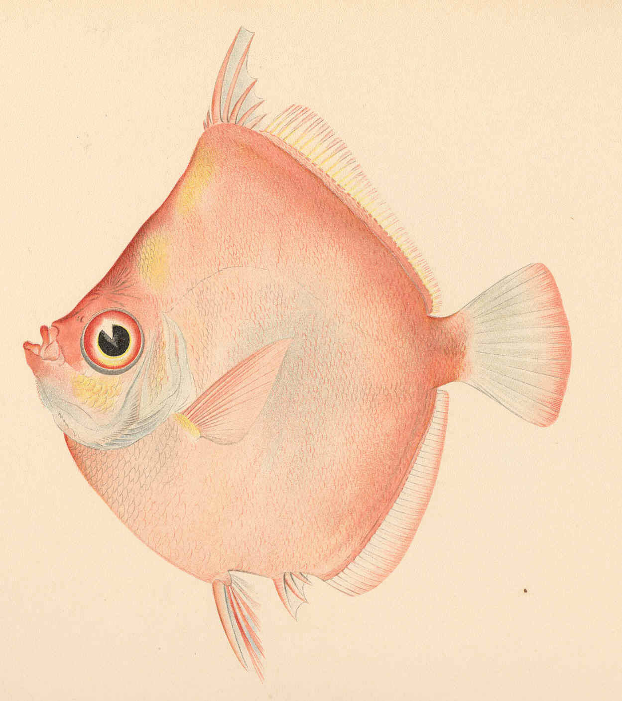 Image of red boarfishes