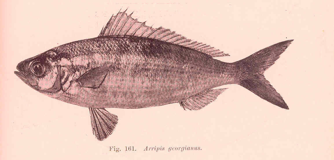 Image of Australian herring
