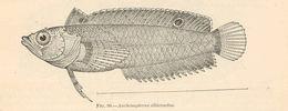 Image of Auchenipterus