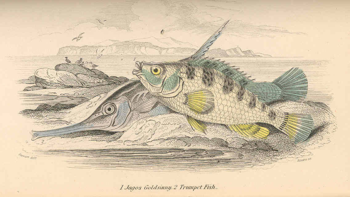 Image of trumpetfishes