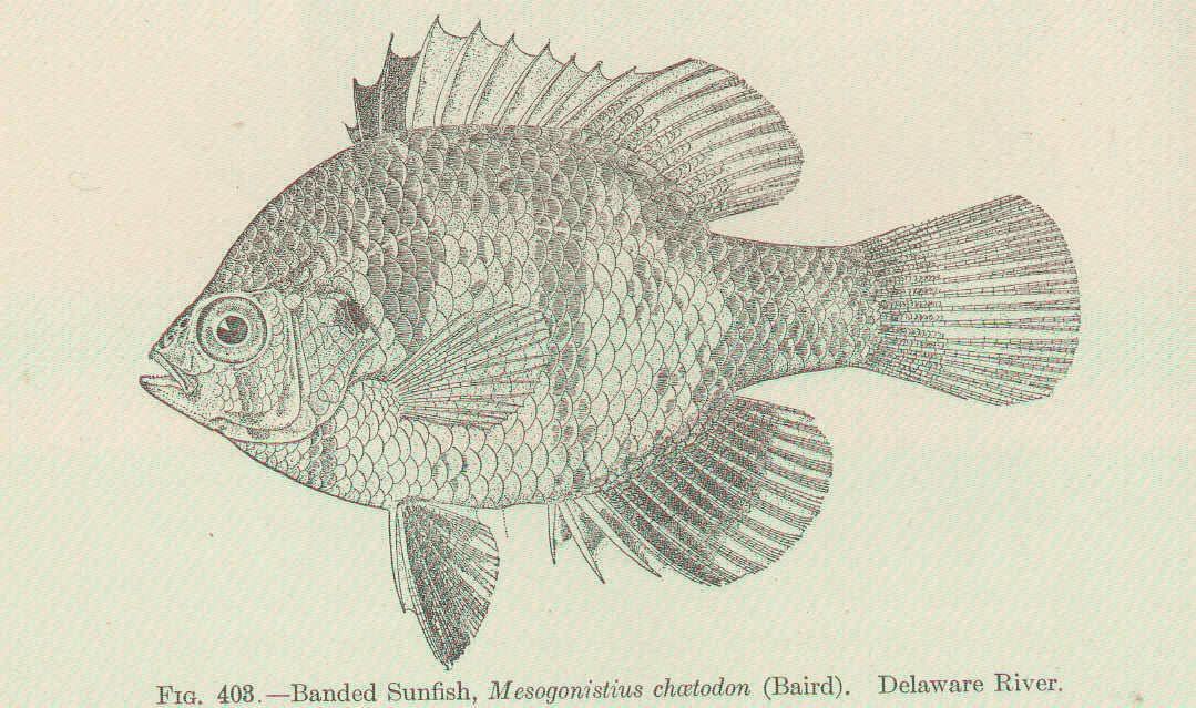 Image of Melanotaenia